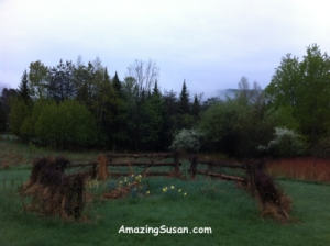 Daffodils in early morning fog