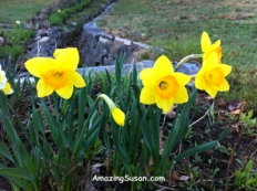 Daffodils - they are everywhere and SO lovely!