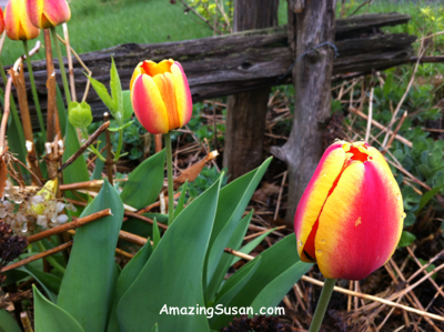 More tulips :)