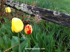 Tulips by a country fence