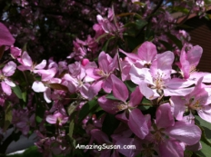 Crab apple or flowering crab blossoms